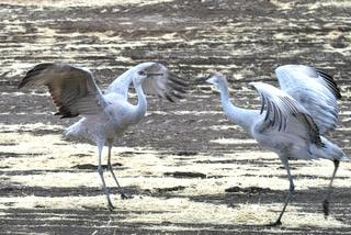 Cranes in mating ritual. Photo by Harry Morse